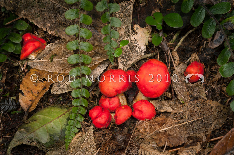DSC_2481 Native scarlet pouch (Leratiomyces erythrocephalus) brightly coloured pouch fungi can be found in litter in broadleaf-conifer forests in autumn. They can sometimes be difficult to tell apart from the fallen fruit of miro, and supplejack, and indeed it seems likely that these small red fungi are mistaken for fruit, and so are dispersed by forest birds. Mount Cargill *