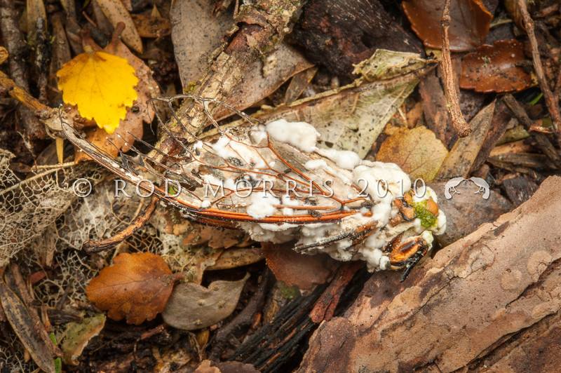 DSC_2345  Sugar icing fungus (Beauvaria bassiana) which has infected a Chorus cicada (Amphisalta zelandica). The dead adult cicada has been killed by this entomopathogenic fungus. Amphisalta are the largest and best known cicadas in New Zealand. Waipori Gorge *