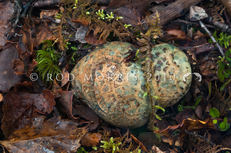 DSC_6291 Blue-green potato fungus (Rossbeevera pachyderma) amongst litter, half buried in the ground in beech forest. The colour of the fungus changes from white in immature and hypogeal fruit bodies to blueish green in mature and emergent fruit bodies. Easily recognised by its colouring and 'elephant-skin' texture. April to June. Boyle River *