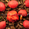 DSC_6827 Scarlet berry truffle (Paurocotylis pila) left, and Native scarlet pouch (Leratiomyces erythrocephalus) right. These two small, round, brightly coloured fungi can be found in litter in broadleaf-conifer forests in autumn. Where either litters the ground, they can be difficult to tell apart from the fallen fruit of miro, and supplejack, and indeed it seems likely that these small red fungi are mistaken for fruit, and so are dispersed by forest birds. Otago Peninsula *