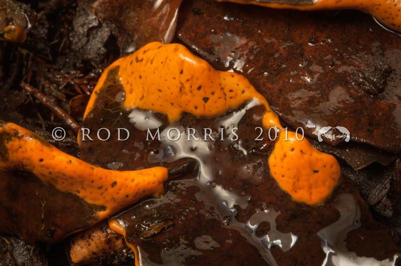 DSC_1974 'Orange' pretzel slime mold (Hemitrichia serpula) mature plasmodium in wet leaf litter. Moana *