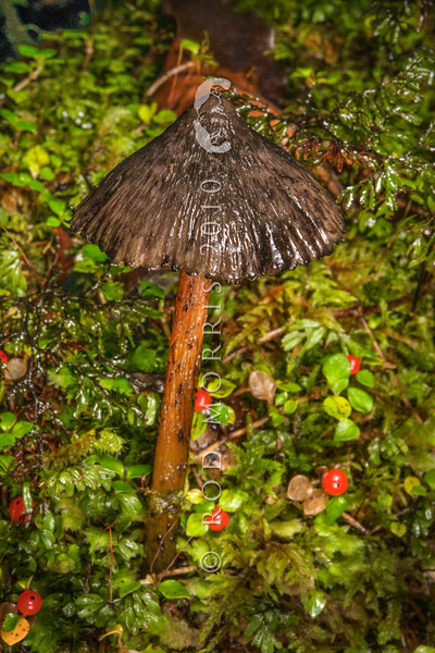 DSC_5917 'Witches hat' waxgill (Hygrocybe astatogala) shaggy black-brown cap with tan or orange gills. Appears in late autumn. Found on the ground in kahikatea forest, amongst mosses or leaf litter. Arnold River, Westland *