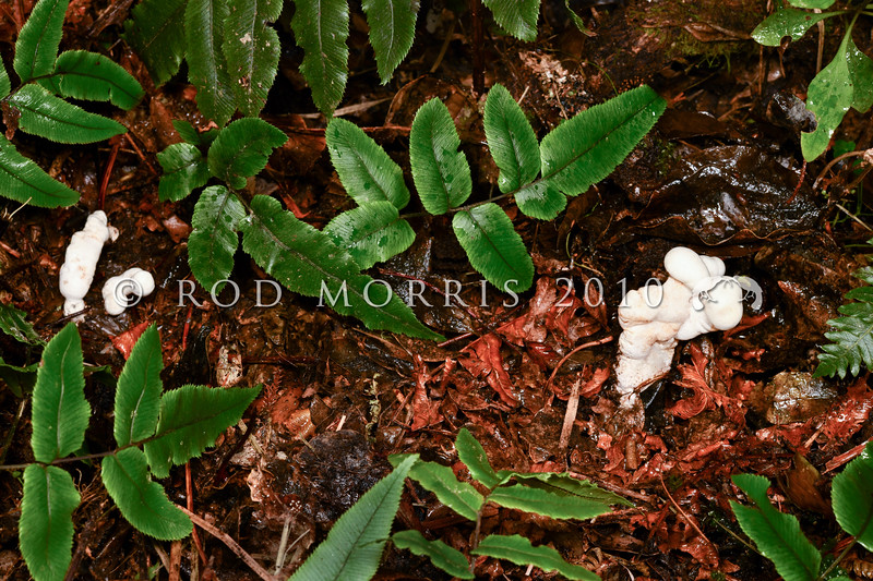DSC_1758 (Phallobata alba) variously shaped, convoluted, sterile white lobes extending 3-9cm up through leaf litter on the forest floor. There is only one species in the genus Phallobata. It is a critically endangered native fungus known from only a few locations, both here and in Australia. These two fruiting bodies were growing from buried decaying wood in cloud forest in June 2020. Otago *