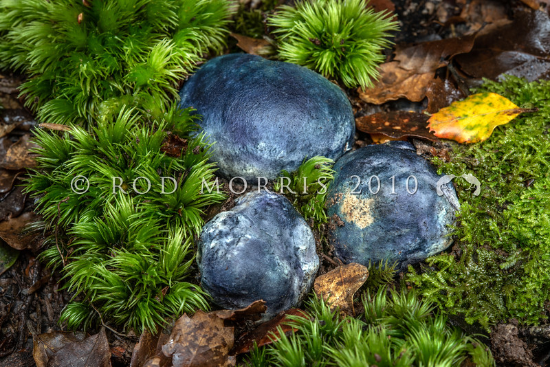 DSC_5637 Blue-green potato fungus (Rossbeevera pachyderma) amongst litter and moss, half buried in the ground in beech forest. The colour of the fungus changes from white in immature and hypogeal fruit bodies to blueish green in mature and emergent fruit bodies. Easily recognised by its colouring and 'elephant-skin' texture. April to June. Waikaia Bush *