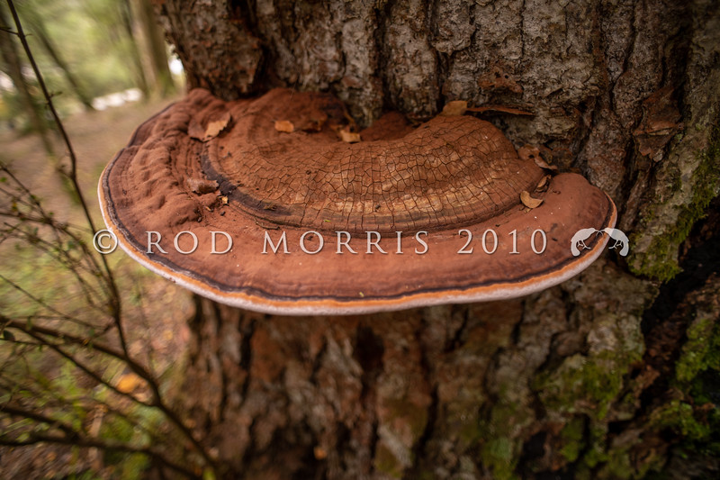 DSC_4662 Artist's conk fungus, or Artists bracket (Ganoderma af. applanatum) on dead  red beech trunk. A common, woody bracket fungus are often seen as large shelf-like structures on dead and some times living trees. The underside is white when developing, but turns brown on maturity, with brown spores often coating the trunk beneath the bracket. Waikaia Bush *