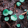 DSC_6241 Verdigris stud fungus (Chlorociboria halonata) detail of fruiting bodies. Typically stains the wood it decays a distinctive blue-green colour, and in southern beech forests the wood is frequently encountered but not the fruiting bodies. Nina Valley, Lewis Pass *