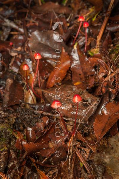 DSC_2272 Crimson helmet (Mycena ura) bleeds red sap when broken. Found on fallen twigs and branches in all types of native forest. Common and widespread in NZ forests, was known as Mycena miniata. Smoke-ho Creek, Westland *