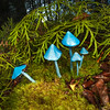 DSC_1999 Sky-blue toadstool (Entoloma hochstetteri) the incomparible blue mushroom. Found in lowland mixed broadleaf forest, particularly beneath podocarps or tree ferns. The Metabolomics lab at the University of Auckland has been researching the biological properties of the blue pigment in this fungi, which may one day be used as a natural blue food colouring. Lake Brunner *