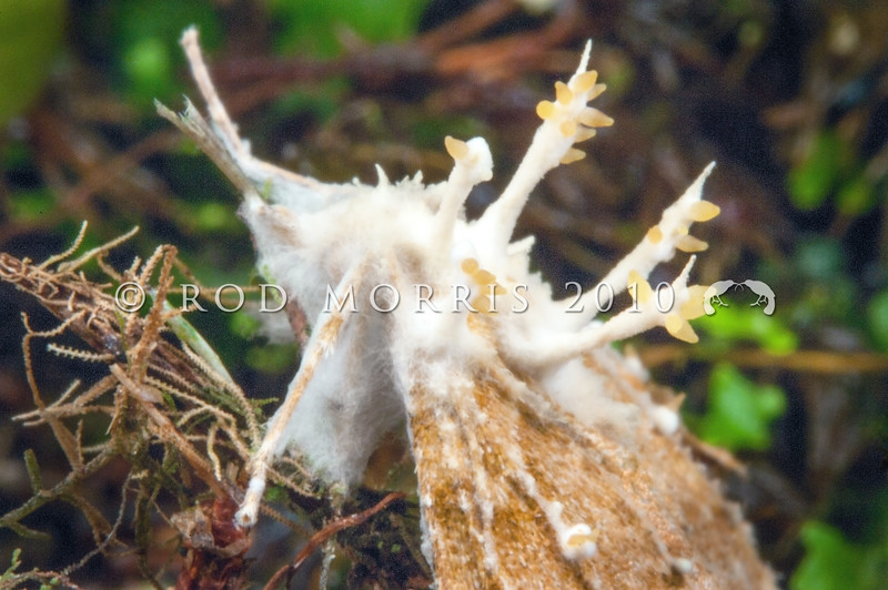 DSC_2282  Noctuid, or Owlet moth killed by the entomopathogenic fungus (Cordyceps tuberculata) which typically grow by infecting the larva or the mature moth with spores. These germinate and grow to slowly consume the insect till it dies. At which time they then produce yellow spore bearing structures. Smoke-ho Creek, Westland *