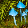 DSC_1994 Sky-blue toadstool (Entoloma hochstetteri) the incomparible blue mushroom. Found in lowland mixed broadleaf forest, particularly beneath podocarps or tree ferns. The Metabolomics lab at the University of Auckland has been researching the biological properties of the blue pigment in this fungi, which may one day be used as a natural blue food colouring. Lake Brunner *