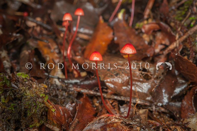 DSC_2275 Crimson helmet (Mycena ura) bleeds red sap when broken. Found on fallen twigs and branches in all types of native forest. Common and widespread in NZ forests, was known as Mycena miniata. Smoke-ho Creek, Westland *