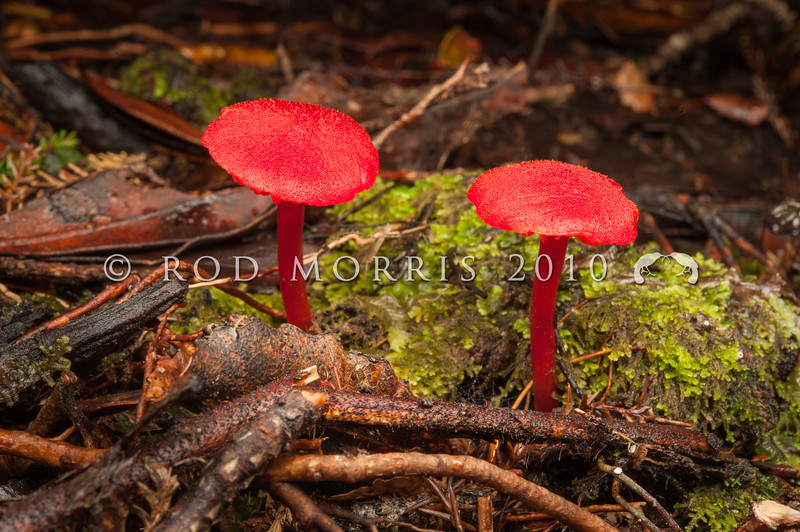 DSC_9848 Red waxgill (Hygrocybe cantharellus) usually found in early autumn in scrubby bush, and often growing amongst moss.. Has orange-yellow gills and the caps are up to 30mm across. Jackson Bay, South Westland *