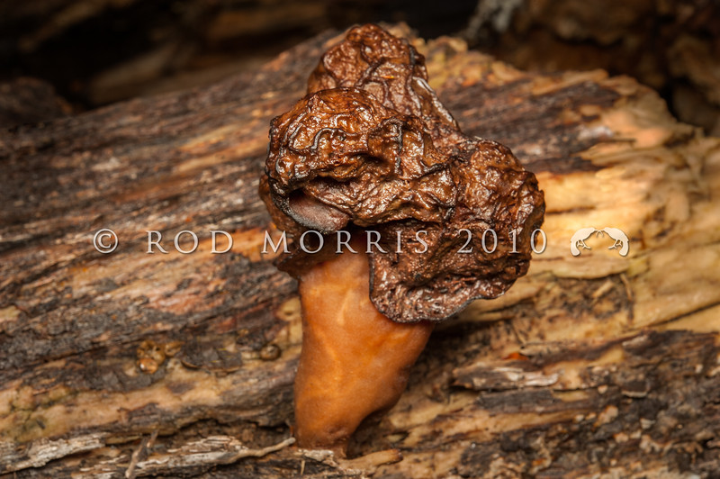 DSC_2101 Brain fungus, or False morel (Gyromitra esculenta) after World War 2 this fungus was responsible for most of the wild mushroom poisonings in Germany and Poland. Despite it's species name esculenta, this fungus is very poisonous. The wrinkled cap is reminiscent of the folds of the brain, but like human skin, the mushroom becomes more wrinkly with age. Bealey Spur *