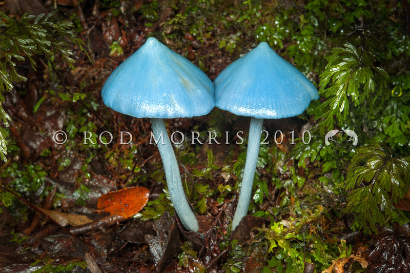 DSC_1985 Sky-blue toadstool (Entoloma hochstetteri) a pale form of the incomparible blue mushroom. Found in lowland mixed broadleaf forest, particularly beneath podocarps or tree ferns. The Metabolomics lab at the University of Auckland has been researching the biological properties of the blue pigment in this fungi, which may one day be used as a natural blue food colouring. Lake Brunner *