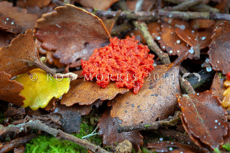 DSC_2602 ? Red slime mould on fallen silver beech leaves and branches. Catlins River *