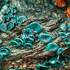 DSC_6647 Verdigris button (Chlorociboria aeruginosa) detail of fruiting bodies. Typically stains the wood it decays a distinctive blue-green colour, and in southern beech forests the wood is frequently encountered but not the fruiting bodies. Nina Valley, Lewis Pass *