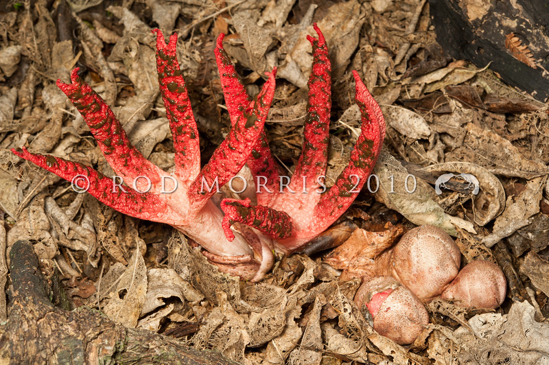 DSC_1413 Octopus stinkhorn, or Devils fingers (Clathrus archeri) first appear as partly buried pinkish egg-shaped structures (foreground). The fungus emerges with three to eight elongated slender arms, initially held erect and attached at the top, before unfolding to reveal a pinkish-red interior covered with lines of smelly, blackish spore-containing gleba to attract blowflies for dispersing the spores. Grows near woody debris, in lawns, gardens, and forests. Native to both Australia and New Zealand. Otago Peninsula *