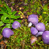 DSC_5693 Royal pouch fungus (Cortinarius porphyroideus) a cluster of eight fruit bodies. Pouch fungi as a group, have lost the ability of their gilled relatives, to shed spores to the wind. Many pouches are brightly coloured, and more  typical of fruit eaten by birds. Indeed native ground birds probably eat pouch fungi, thereby dispersing the spores through their faeces. Waikaia Bush *