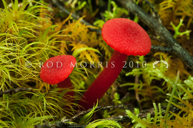 DSC_6173 Ruby red waxgill (Hygrocybe rubro-carnosa) among mosses on the ground beneath manuka and mixed forest. Sometimes called the 'rare' waxgill, because its flesh is the colour of raw (rare) steak. April to June. Boyle River *