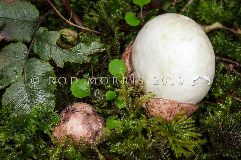 DSC_8100798 Fischer's egg (Claustula fischeri) an endangered fungus known from only a few locations. Fischer's egg produces spores within a conspicuous white, egg-shaped receptacle that emerges from a brown, gelatinous protective cover. Although it is a 'stinkhorn', it appears to be odourless. Its distinctive appearance, (the white receptacle is the size of a hen's egg), may encourage animals and birds to eat it, thereby dispersing the spores - indeed some eggs certainly appear partially eaten - however the dispersal mechanism is still unknown.  Eastern Otago *