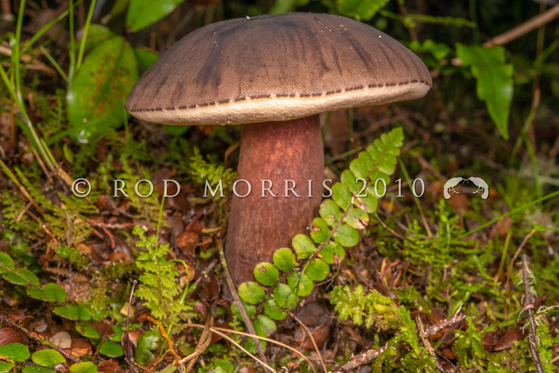 DSC_5552 Velvet Bolete (Porphyrellus formosus) growing in silver beech forest beside the Waikaia River *