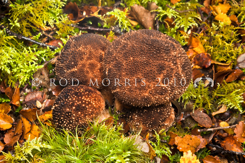 DSC_6658 Devil's snuffbox (Lycoperdon perlatum) a puffball covered in tiny brown fragile warts, found in leaf litter in mixed forests and pasture. Boyle River *