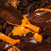 DSC_1970 'Orange' pretzel slime mold (Hemitrichia serpula) mature plasmodium in wet leaf litter. Moana *