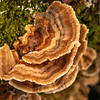 DSC_8101300 Turkey-tail porebracket (Trametes vesicolor) found all year round and on all types of wood. Forming thin, dry, leathery rosettes and ruffles. This fungus produces Polysaccharide K which is of interest to science. Many polysaccharides have been shown to boost the human immune system to fight infection and certain types of cancers. Bealey River *