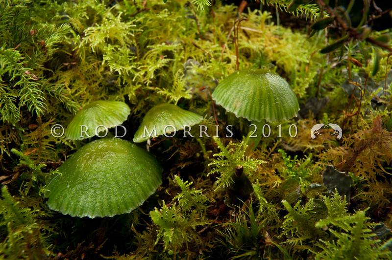 DSC_6215 Grass green waxgill (Gliophorus viridis) group among mosses on the ground beneath manuka and mixed forest. April to June. Boyle River *