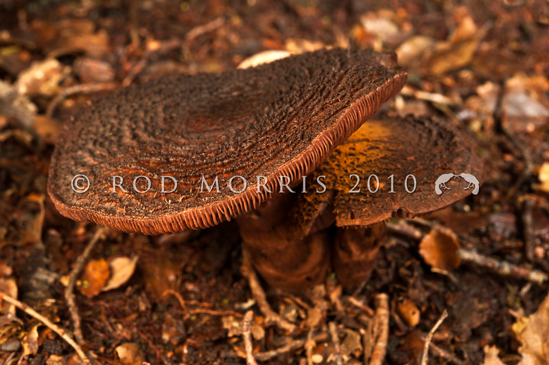 DSC_6037 Bear-skin webcap (Cortinarius ursus) known only from beech forests in the South Island. The spores are rust brown and the dark, heavily concentrically scaled cap of this Cortinarius is unlike any other fungi found in New Zealand. Waikaia Forest *