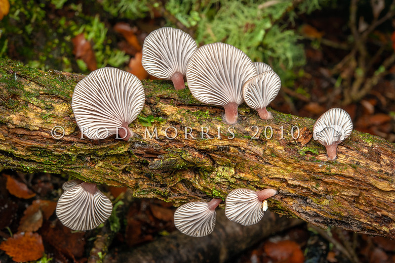 DSC_2562 Olive oyster (Pleurotus purpureoolivaceus) found on edge of southern beech forest on gorse trunk. This is one of several wood-decay fungi which have  sticky traps to ensnare microscopic nematode worms, which provide an important source of nitrogen for the fungus. Nitrogen is a scarce nutrient in rotting wood. Catlins River  *