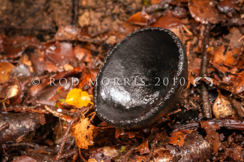 DSC_2614 Black cup fungus (Plectania campylospora) found on rotting wood in wet forests. Native to southeastern Australia and New Zealand,  though many species of Plectania are found in temperate areas of the Northern Hemisphere. Catlins River *