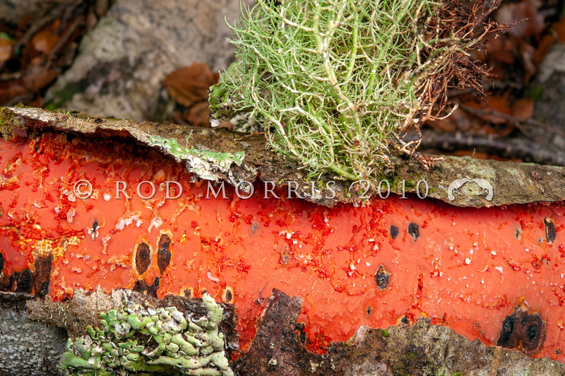 DSC_2545 Reddish-orange crust (Australovuilleminia coccinea) endemic - the monotypic genus was described in 2010. Recognised by its striking reddish-orange colour.  Found on the underside of fallen branches of silver beech (Lophozonia menziesii). Catlins River *