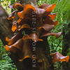 11008-15108 Wood Ear or hakeke (Auricularia polytricha) 'ear' fungus is abundant on rotting wood in lowland forests. It is brown to red-brown with a soft velvety exterior when young. Older fruit bodies often dry out with a pale grey, furry exterior. When soaked in water and shred cut, it is a tasty addition to stir fried Chinese dishes. Kaimai Range *
