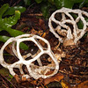 DSC_1891 White basket stinkhorn (Ileodictyon cibarius) starts as an egg from which the growing fruit-body bursts free and unfolds. The inside of the lattice-work of the basket is covered in brown spore mass, and smells of rotting meat, attracting blowflies which feed on the liquid and disperse the spores. The basket can also roll free from the egg and blow across the ground dispersing spores. Dunedin *