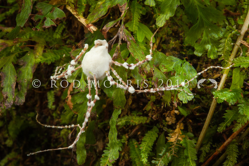 DSC_0036 Sugar icing fungus (Beauvaria bassiana) infecting a dead female Long-legged harvestman (Forsteropsalis grimmetti) amongst filmy ferns in coastal forest. Lake Moeraki, South Westland *