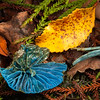 DSC_2308 Sky-blue toadstool (Entoloma hochstetteri) fragments on forest floor. Always an exciting find regardless of whether you have seen it before. Found in lowland mixed broadleaf forest, particularly beneath podocarps or tree ferns. The Metabolomics lab at the University of Auckland has been researching the biological properties of the blue pigment in this fungi, which may one day be used as a natural blue food colouring. Lake Brunner, Westland *