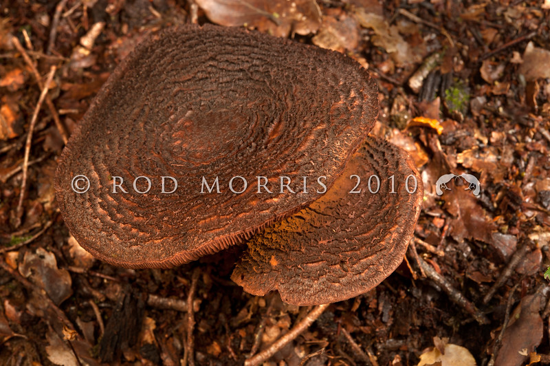 DSC_6039 Bear-skin webcap (Cortinarius ursus) known only from beech forests in the South Island. The spores are rust brown and the dark, heavily concentrically scaled cap of this Cortinarius is unlike any other fungi found in New Zealand. Waikaia Forest *
