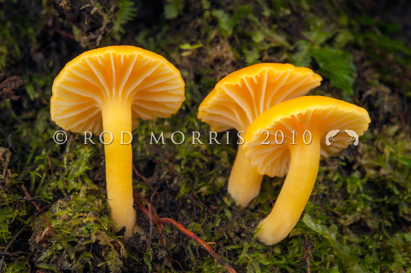 DSC_9934 Yellow waxgill (Hygrocybe cerinolutea) golden yellow to lemon-yellow with a velvety, waxy texture. Found on the ground in mixed forests, amongst mosses or leaf litter. Distinguished from other yellow waxgills by the lack of radial striations on the cap margin. Hapuka Estuary, South Westland *