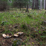 Albatrellus citrinus - krásnopórovec