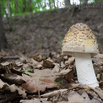 Amanita ceciliae - muchotrávka chrastavá