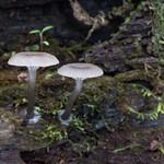 Arrhenia epichysium - kalichovka drevná