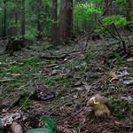 Butyriboletus fechtneri - hríb striebristý