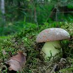 Butyriboletus roseogriseus - hríb sivoružový