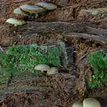 Callistosporium pinicola - matovka