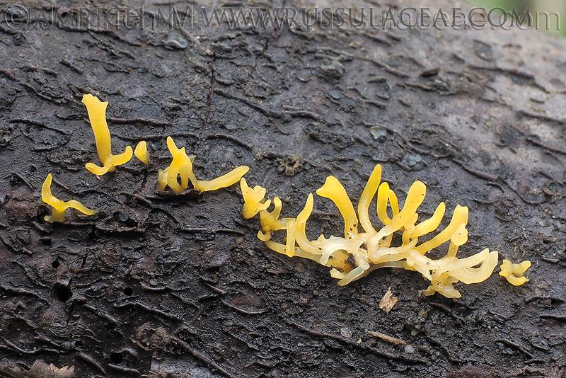 Calocera cornea - parôžkovec malý