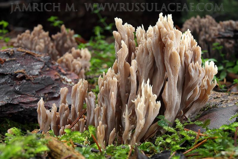 Clavulina cinerea - konárovka popolavá