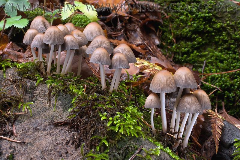 Coprinus silvaticus - hnojník lesný