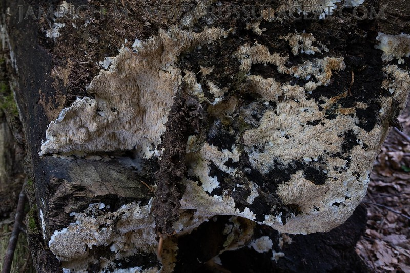 Dentipellis fragilis - zubáčik krehký