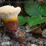 Ganoderma lucidum - leklokôrovka obyčajná